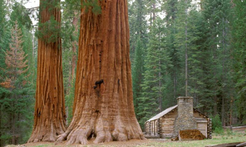 Mariposa Sequoia Grove in Yosemite National Park